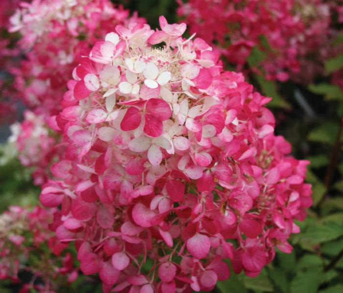 Hydrangeas are paniculate: new varieties. Hydrangeas are treelike and paniculate: reproduction and care
