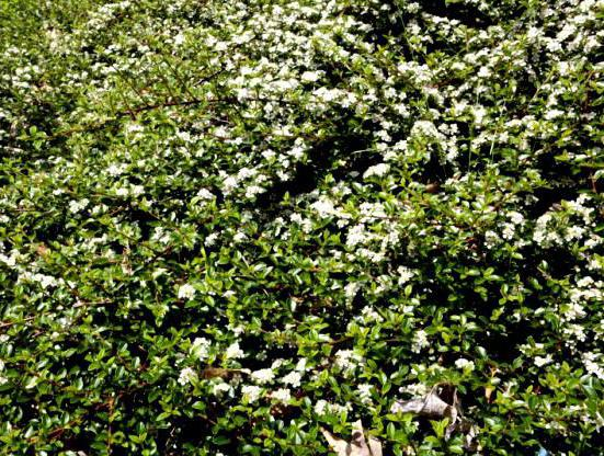 Dummer's cotoneaster: photos, planting and care