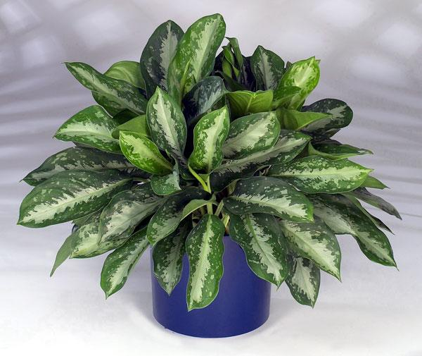 Variegated Aglaonema: home care